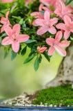 Flores rosadas en un árbol de los bonsais de la azalea del satsuki Foto de archivo