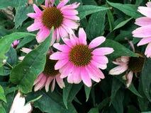 Flores rosadas en un arbusto Imagen de archivo