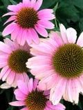 Flores rosadas en un arbusto Imagen de archivo libre de regalías