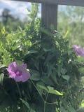 Flores rosadas en vid Imagenes de archivo