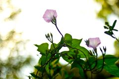 Flores rosadas envueltas para arriba en una vid Fotos de archivo