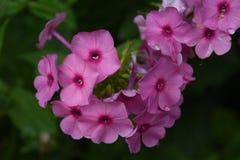 Flores rosadas florecientes brillantes del polemonio en un jardín imagen de archivo libre de regalías