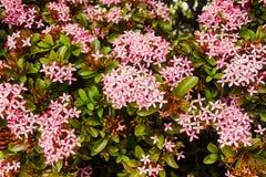 Flores rosadas florecientes de Ixora para el fondo de la naturaleza Fotografía de archivo libre de regalías