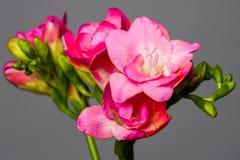 Flores rosadas florecientes de la primavera en fondo gris Imagen de archivo