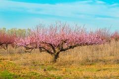 Flores rosadas florecientes de los melocotones Imagenes de archivo
