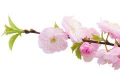 Flores rosadas florecientes del árbol Foto de archivo libre de regalías