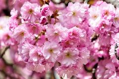 Flores rosadas florecientes del árbol de Sakura de la cereza el día soleado Fotos de archivo libres de regalías
