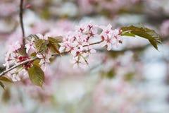 Flores rosadas florecientes del cerezo de Sakura Fondo de la naturaleza Fotografía de archivo libre de regalías