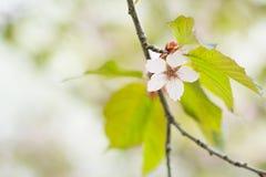 Flores rosadas florecientes del cerezo de Sakura Fondo de la naturaleza Foto de archivo