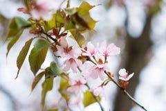 Flores rosadas florecientes del cerezo de Sakura Fondo de la naturaleza Fotografía de archivo