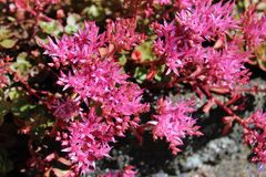 Flores rosadas florecientes del sedum en sol del verano Fotos de archivo