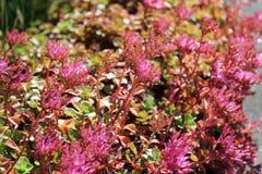 Flores rosadas florecientes del sedum en sol del verano Imagen de archivo libre de regalías