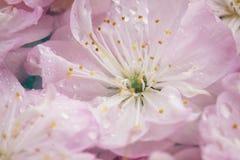 Flores rosadas frescas de la cereza Fotografía de archivo