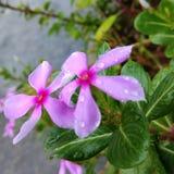 Flores rosadas hermosas Foto de archivo libre de regalías