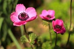 Flores rosadas hermosas de la anémona imágenes de archivo libres de regalías