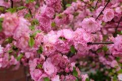 Flores rosadas hermosas de la flor de cerezo en primavera fotografía de archivo libre de regalías