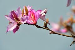 Flores rosadas hermosas de la magnolia Fotografía de archivo libre de regalías