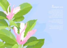 Flores rosadas hermosas de la magnolia Fotografía de archivo