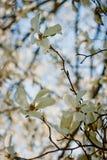 Flores rosadas hermosas de la magnolia Imágenes de archivo libres de regalías