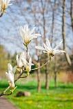 Flores rosadas hermosas de la magnolia Foto de archivo