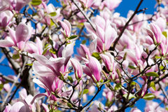 Flores rosadas hermosas de la magnolia fotos de archivo