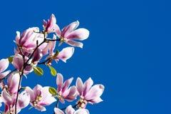 Flores rosadas hermosas de la magnolia Foto de archivo libre de regalías