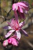 Flores rosadas hermosas de la magnolia Imagen de archivo