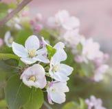 Flores rosadas hermosas de la manzana en cierre para arriba Imagen de archivo libre de regalías