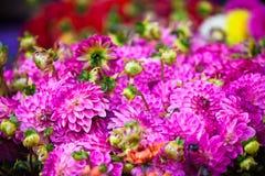 Flores rosadas hermosas de las dalias Imágenes de archivo libres de regalías
