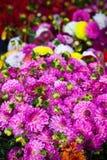 Flores rosadas hermosas de las dalias Fotografía de archivo libre de regalías