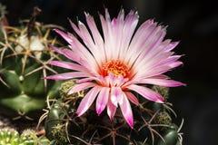 Flores rosadas hermosas del cactus en el jardín Fotos de archivo libres de regalías
