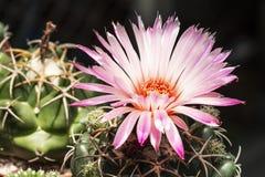Flores rosadas hermosas del cactus en el jardín Imágenes de archivo libres de regalías