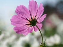Flores rosadas hermosas del cosmos en el jardín Foto de archivo libre de regalías