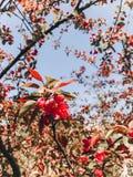 Flores rosadas hermosas del crabapple en ramas en jardín botánico soleado Los flores del manzano se cierran para arriba Hola prim foto de archivo