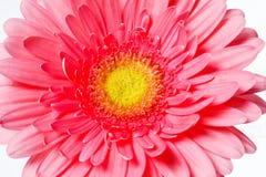 Flores rosadas hermosas del gerbera en blanco Fotos de archivo libres de regalías