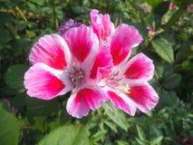 Flores rosadas hermosas del hibisco en el jardín del parque fotografía de archivo libre de regalías