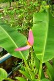 Flores rosadas hermosas del plátano y hojas verdes en el patio trasero fotos de archivo