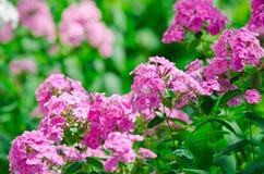 Flores rosadas hermosas del polemonio Fotografía de archivo libre de regalías