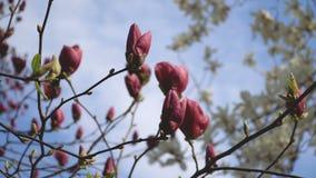 Flores rosadas hermosas del primer de la floración de la magnolia a plena luz del día en fondo natural