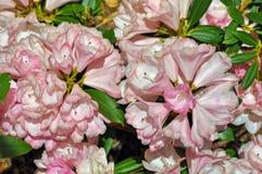 Flores rosadas hermosas del rododendro Fotografía de archivo