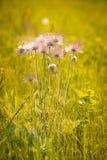 Flores rosadas hermosas en el campo entre la hierba Imagenes de archivo