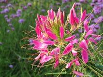 Flores rosadas hermosas en el jardín, Lituania Imagen de archivo