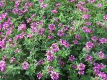 Flores rosadas hermosas en jardín Imágenes de archivo libres de regalías