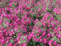 Flores rosadas hermosas en jardín Fotos de archivo libres de regalías