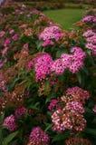 Flores rosadas hermosas en jardín imagenes de archivo