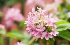 Flores rosadas hermosas en la floración Imagen de archivo libre de regalías