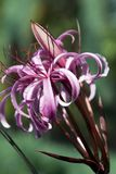 Flores rosadas llamativas del bulbo del menehune del crinum imágenes de archivo libres de regalías