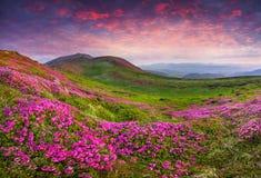 Flores rosadas mágicas del rododendro en las montañas Foto de archivo