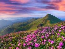 Flores rosadas mágicas del rododendro en montañas Imagen de archivo