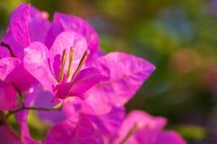 Flores rosadas magníficas de la buganvilla en la sol imágenes de archivo libres de regalías